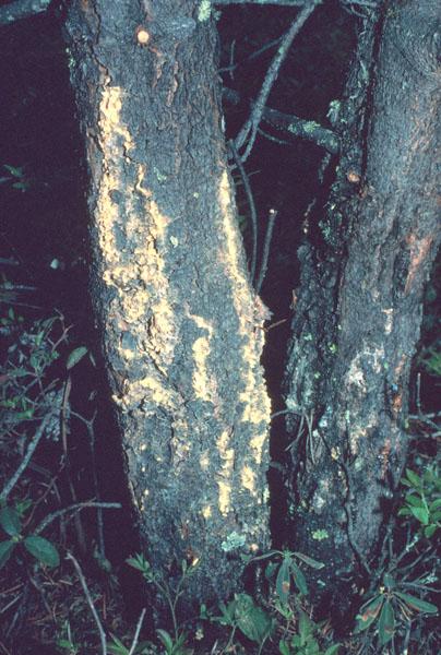 Sweetfern blister rust