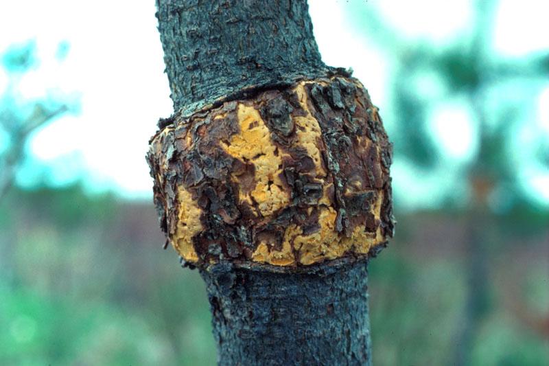 Western gall rust