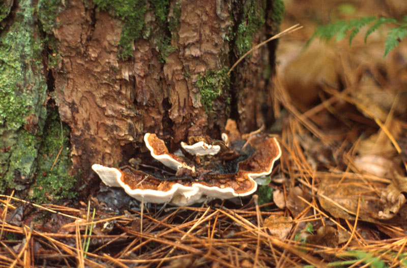 Annosus root and butt rot <em>(Heterobasidion occidentale) </em> - Fruiting bodies at the base of a tree