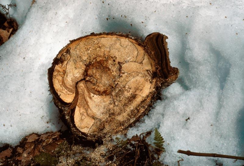 Hardwood Trunk Rot
