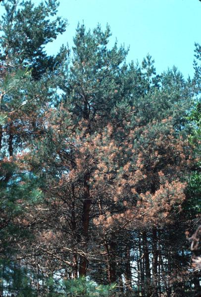 Scleroderris canker, European strain