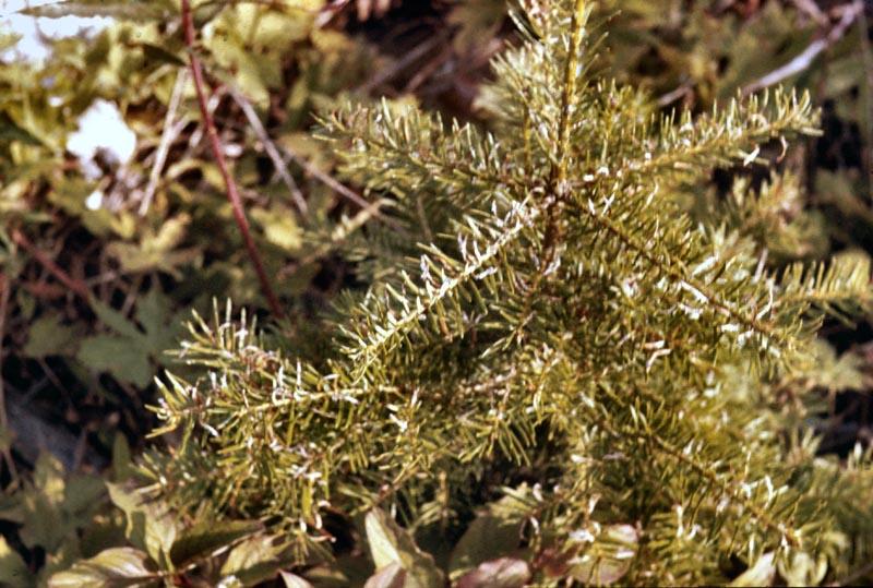 Fir-oak-fern rust (<em>Hyalopsora aspidiotus</em>)