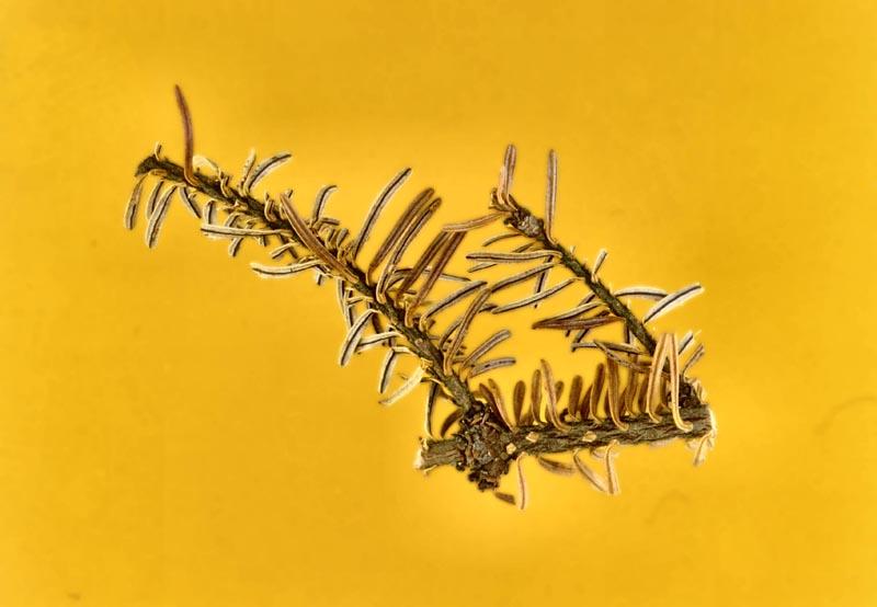 Fir needle cast (<em>Isthmiella quadrispora</em>)