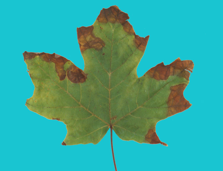 Anthracnose of maple - Anthracnose spots on a leaf