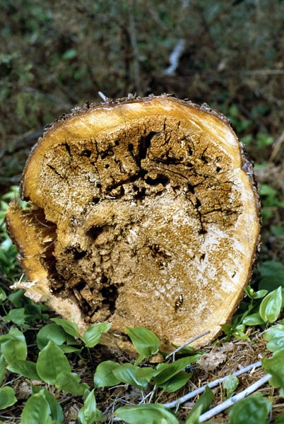 Brown cubical sap rot