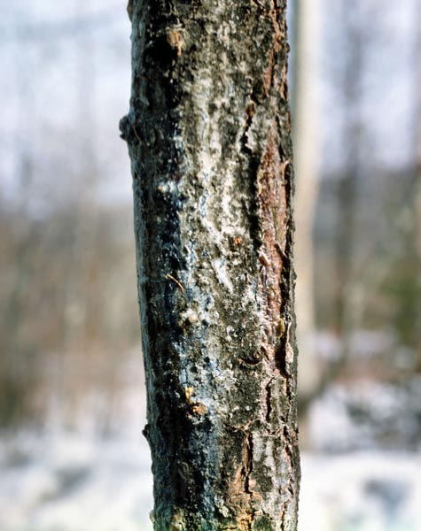 Canker disease of spruce