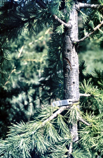 Canker disease of spruce -