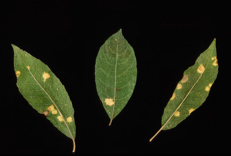 Hemlock-willow rust -
