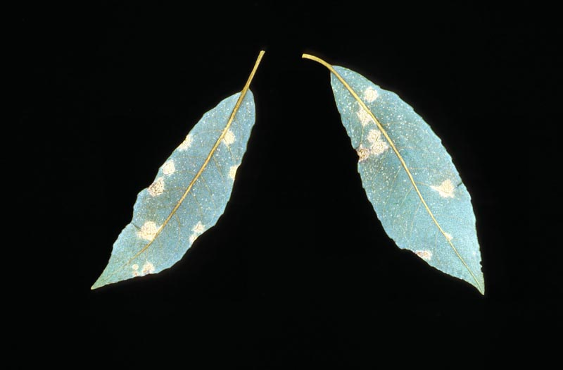 Hemlock-willow rust