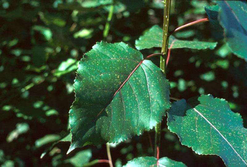 Conifer - Aspen rust