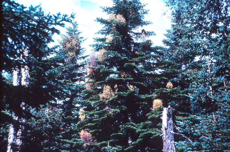 Yellow witches' broom of balsam fir - Witches' broom on a fir