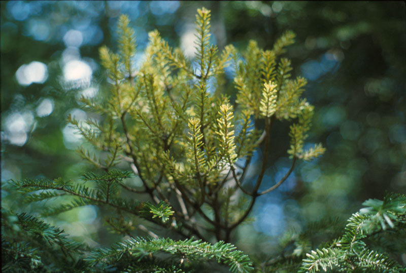 Yellow witches' broom of balsam fir