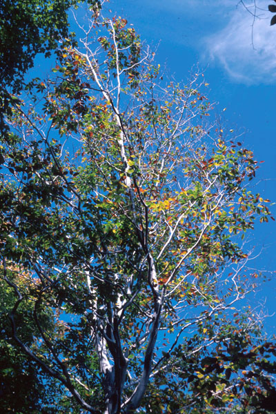 Beech bark disease