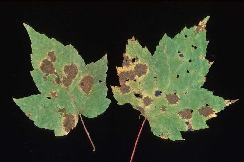 Maple leaf spot - Spots on leaves