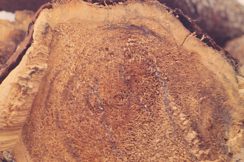 Tomentosus root rot