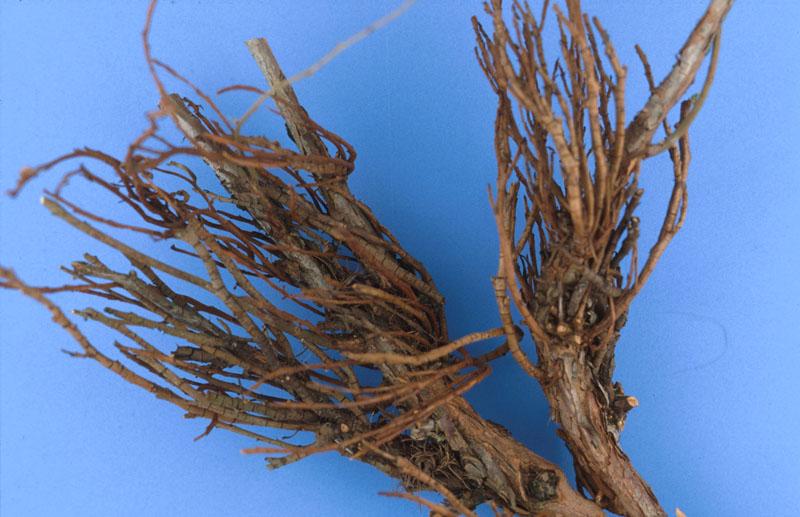 Fir-blueberry rust