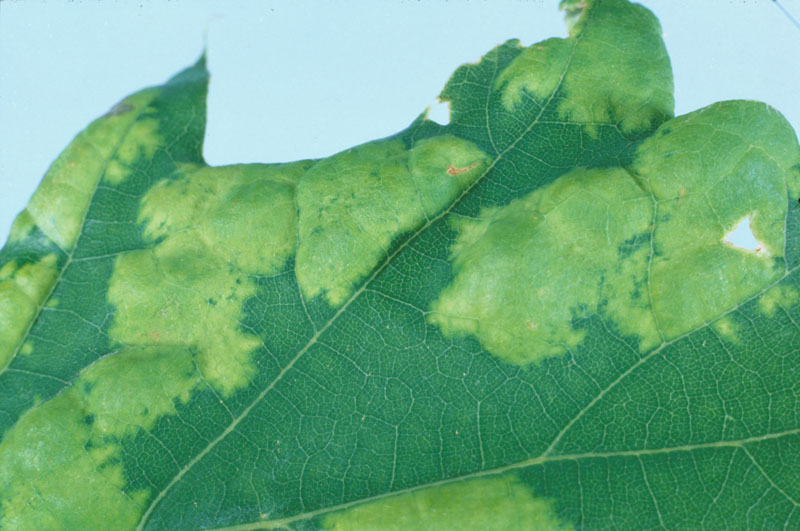 Oak leaf blister - Blisters on a leaf