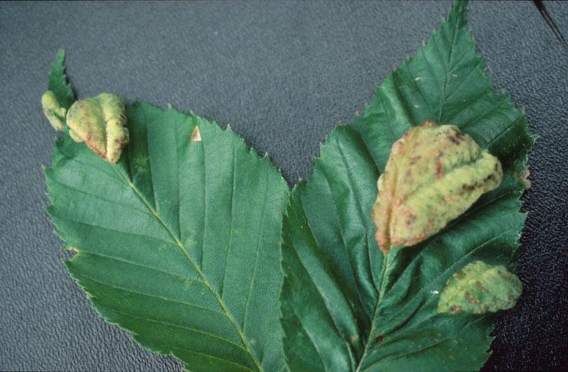 Birch leaf blister