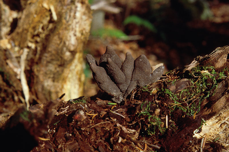 Xylaria root rot
