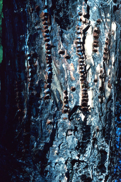 Yellow-bellied sapsucker - Rows of shallow holes on trunk