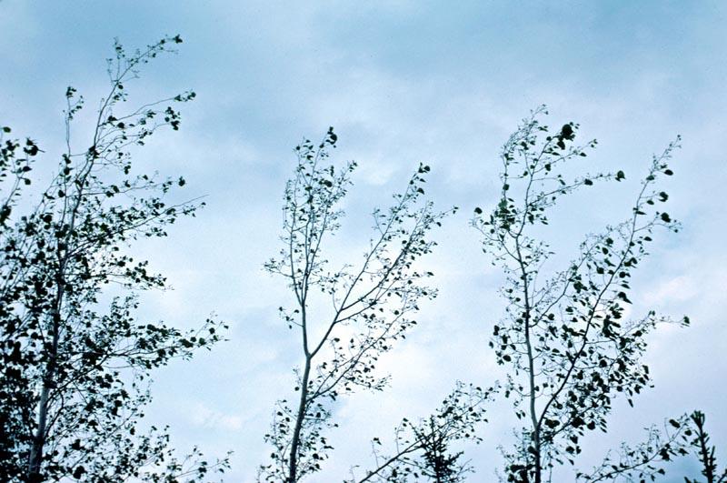 Frost damage of poplars