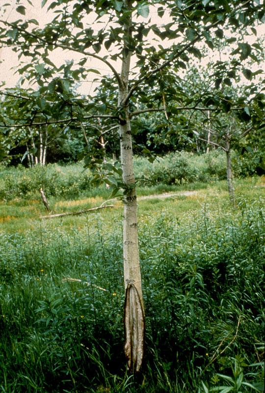 Sunscald of hardwoods