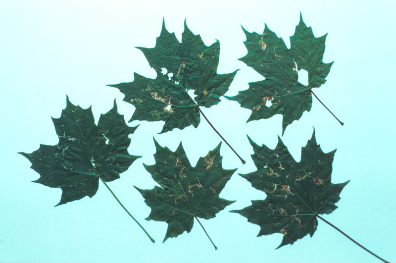 Hail injury - Holes in leaves caused by hailstone