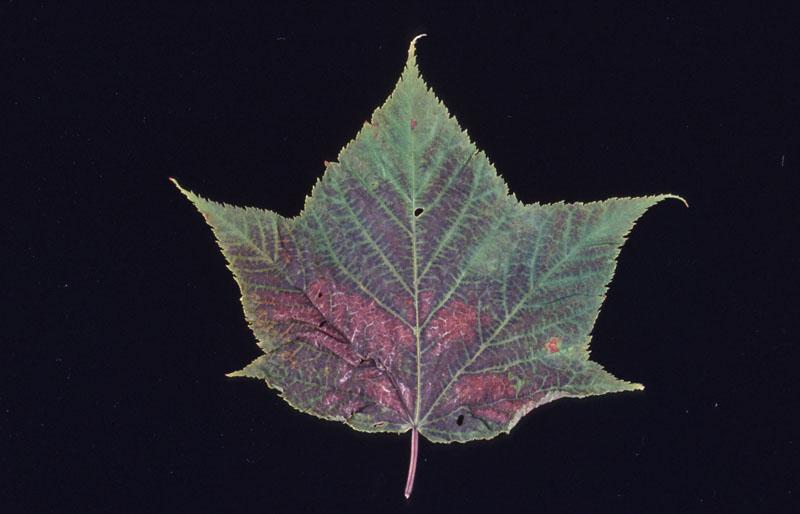 Ozone injury - Charateristic ozone leaf reddening