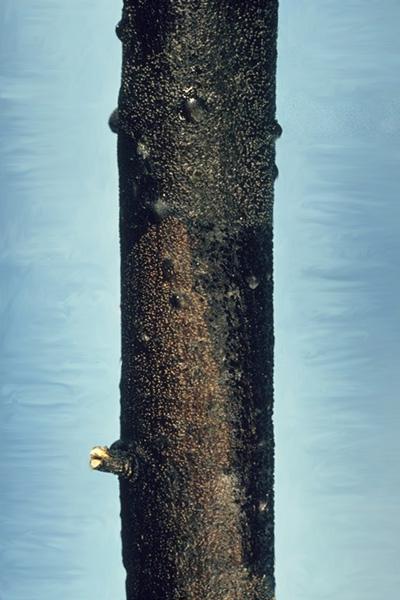 Phomopsis canker of douglas-fir - <em>Phomopsis</em> canker on Douglas-fir