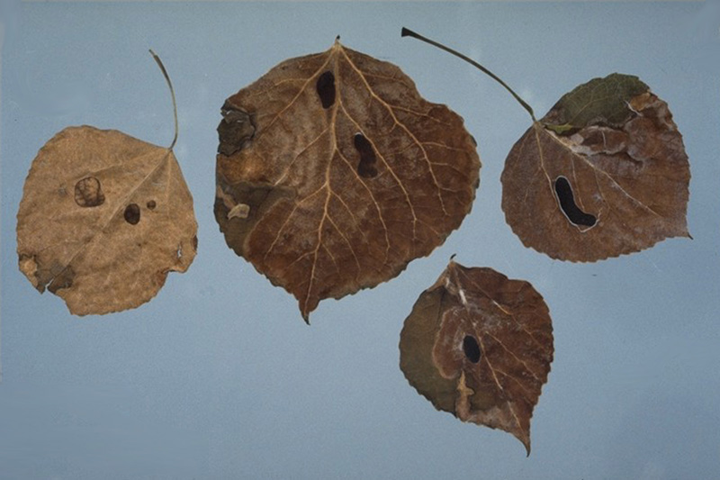 Inkspot of aspen - Sclerotia of <em>Ciborinia whetzelii</em> on aspen