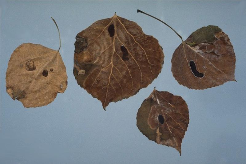 Inkspot of aspen - Sclerotia of <em>Ciborinia whetzelii</em> on aspen