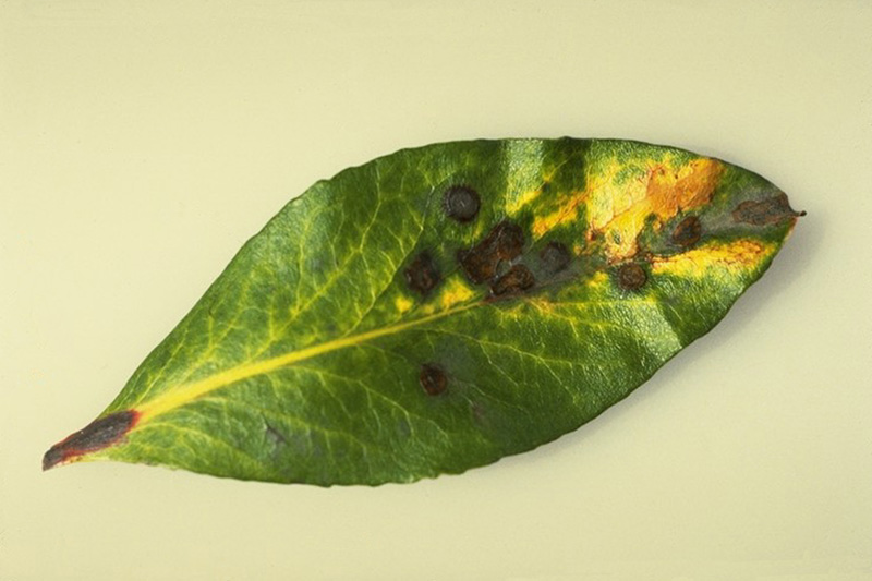 Leaf spot (<em>Didymosporium arbuticola</em>) - Leaf spots on arbutus caused by <em>Didymosporium arbuticola</em>
