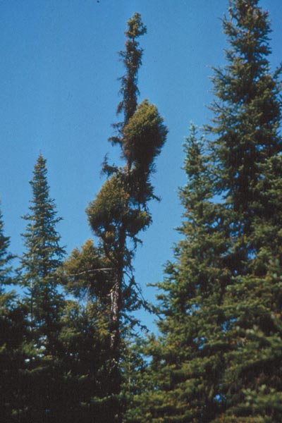 Eastern dwarf mistletoe - Witches'-broom on black spruce formed as a result of infection by <em>Arceuthobium pusillum</em>, the causal agent of eastern dwarf mistletoe.
