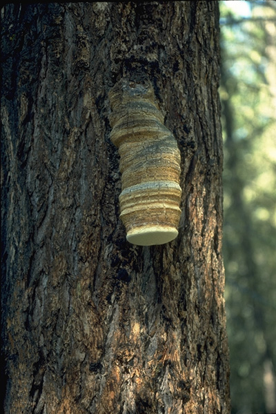 Brown trunk rot - Fruiting body of <em>F. officinalis</em> on western larch