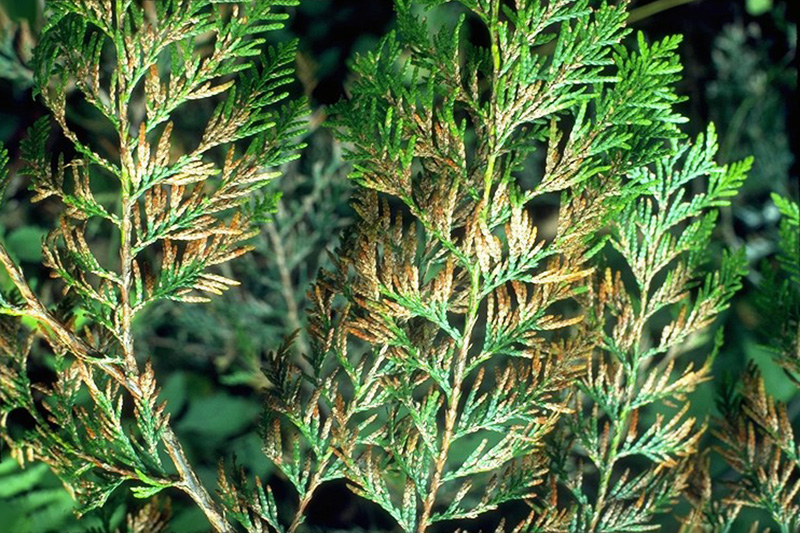 Cedar needle blight
