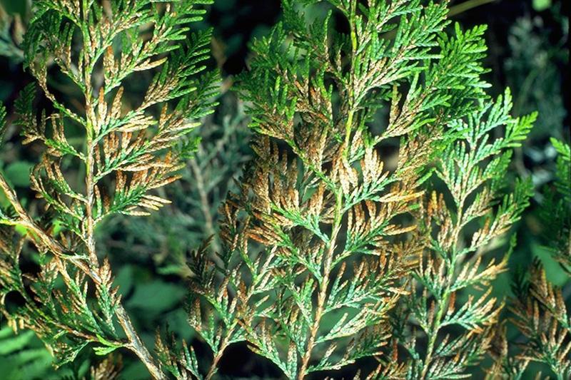 Cedar needle blight