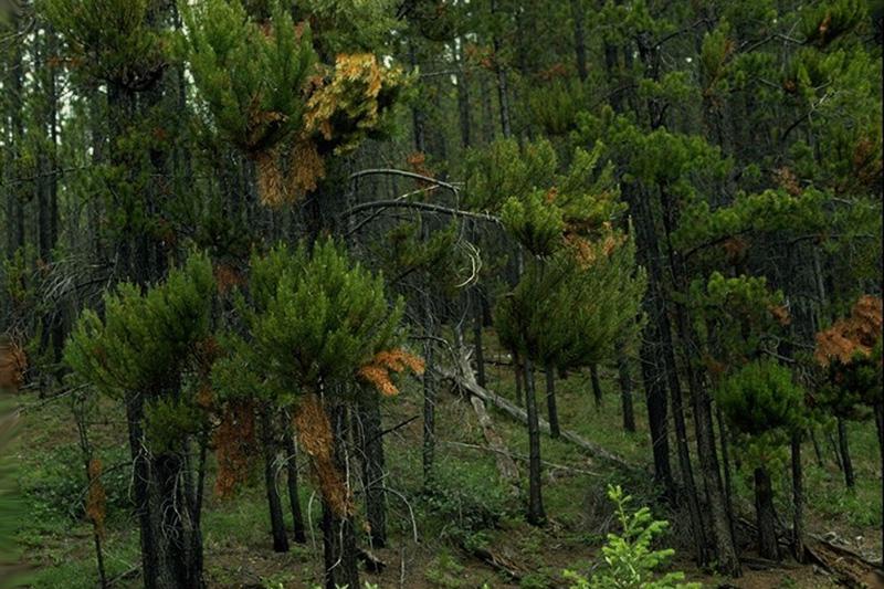 Lodgepole pine dwarf mistletoe - Lodgepole pine dwarf mistletoe