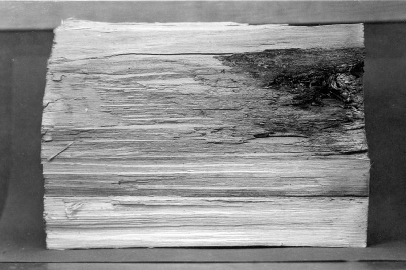 White spongy trunk rot of hardwoods