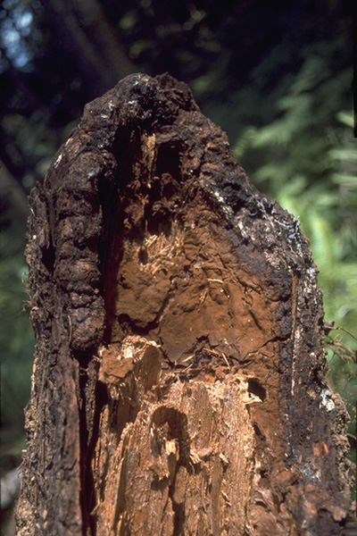 Laminated root rot douglas-fir form