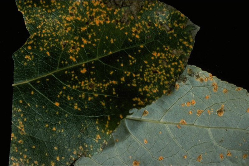 Conifer - Cottonwood rust - <em>M. occidentalis</em> uredinia on cottonwood leaves