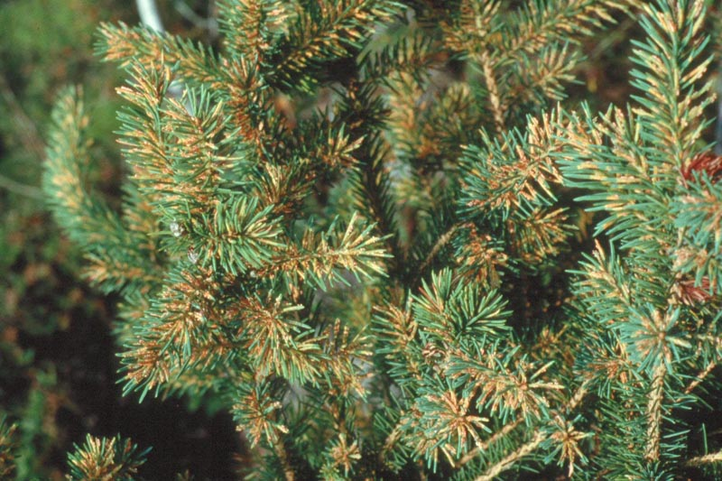 Spruce needle rust - A white spruce infected by <em>Chrysomyxa ledi</em>, a cause of spruce needle rust.
