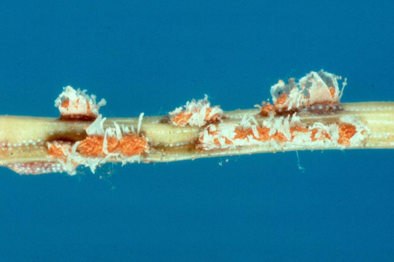 Spruce-Labrador tea needle rust - Fruiting bodies of <em>Chrysomyxa ledicola</em> on a spruce needle. Note the orange color of the spore mass and the torn pustules, indicating the spores are ready to be released.
