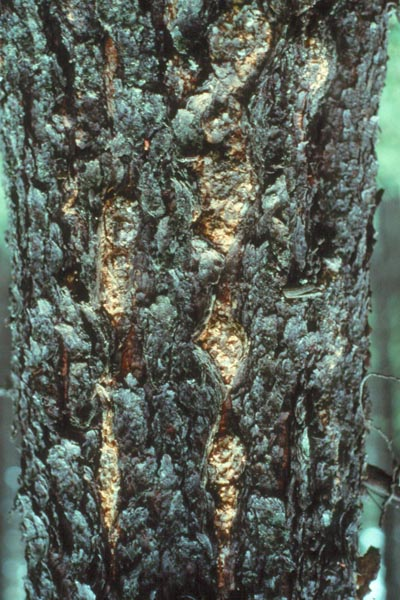 Sweetfern blister rust - A stem canker on jack pine caused by <em>Cronartium comptoniae</em>, the causal agent of sweet fern blister rust. Note the swellings with orange fruiting bodies on them.