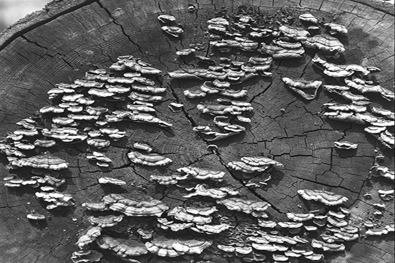 Brown cubical pocket rot - Fruiting bodies of <em>Veluticeps fimbriata</em> on a fallen western hemlock log