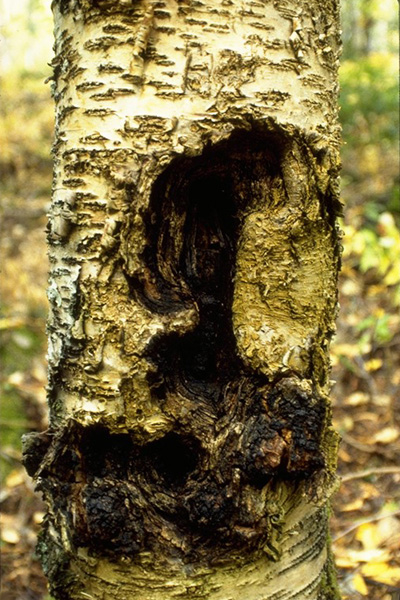 Sterile conk trunk rot of birch