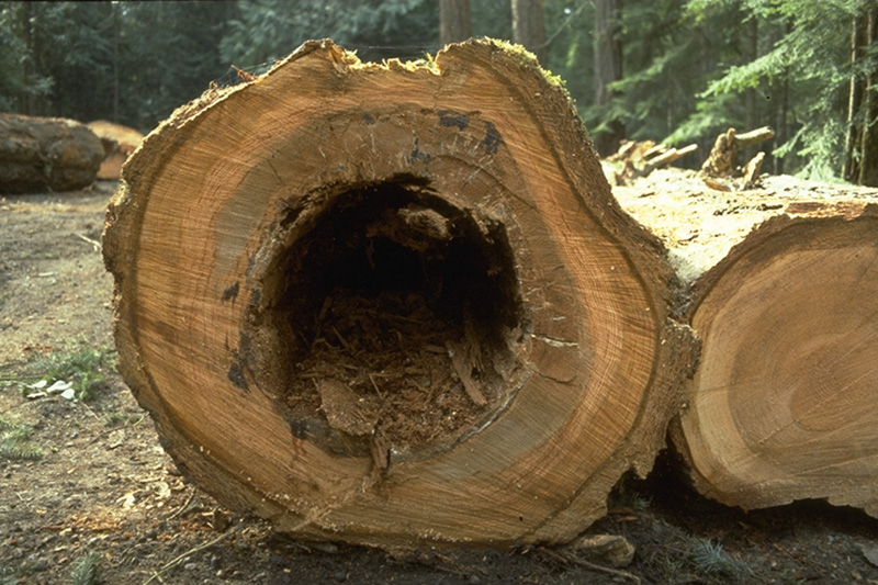 Schweinitzii Butt Rot - Advanced decay of Douglas-fir caused by <em>P. schweinitzii</em> showing brown cubical rot