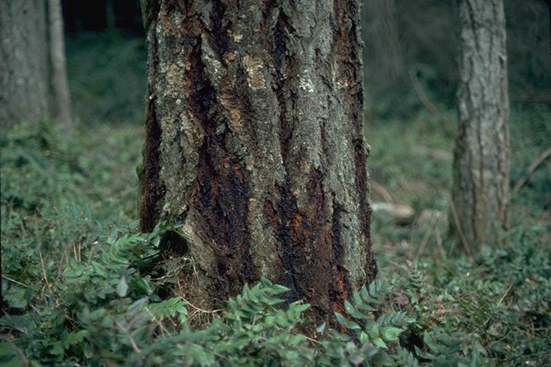 Laminated root rot douglas-fir form