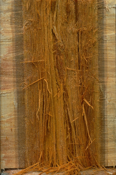 Brown stringy trunk rot