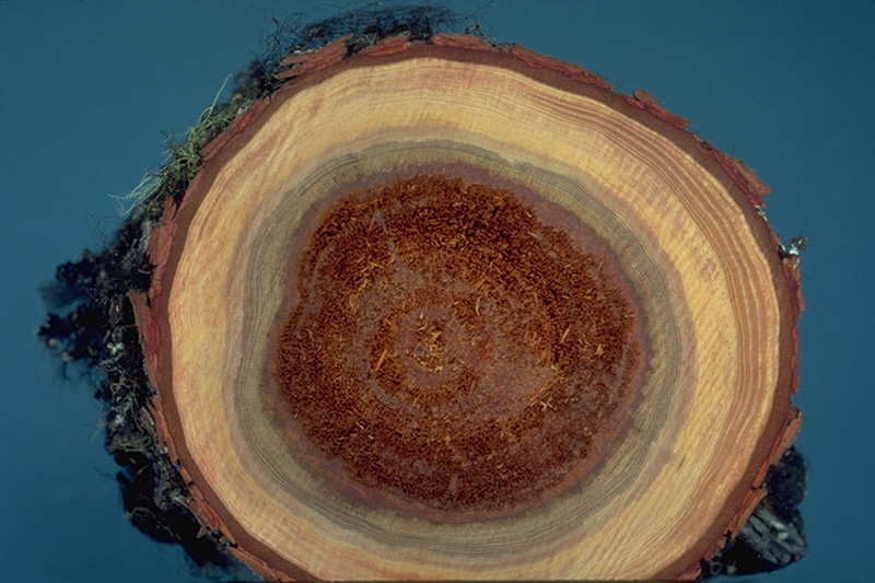 Brown stringy trunk rot - Cross-section of advanced decay symptoms