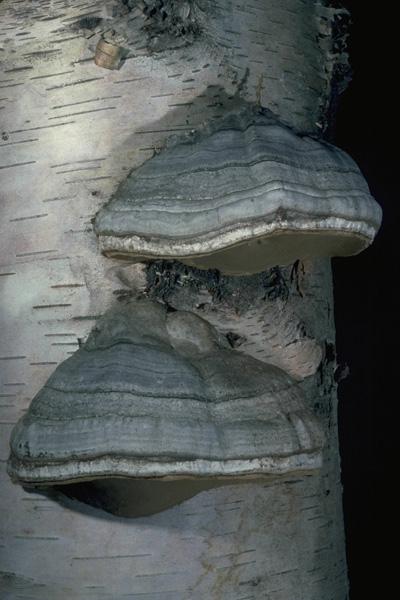 White spongy trunk rot